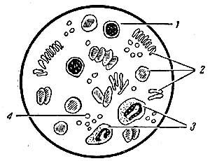 Рис 1 вид форменных элементов крови