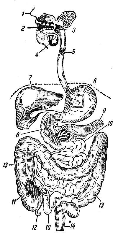 Пищеварительная система человека.