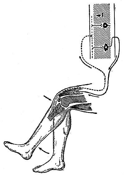 Рис 4. Схема рефлекторной дуги коленного рефлекса.  В спинном мозгу среди нервных клеток серого вещества имеется ряд...